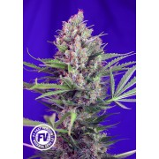 3 Semillas Marihuana Cream Mandarine F1 Fast Version