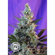 3 Semillas Marihuana Sweet Skunk F1 Fast Version
